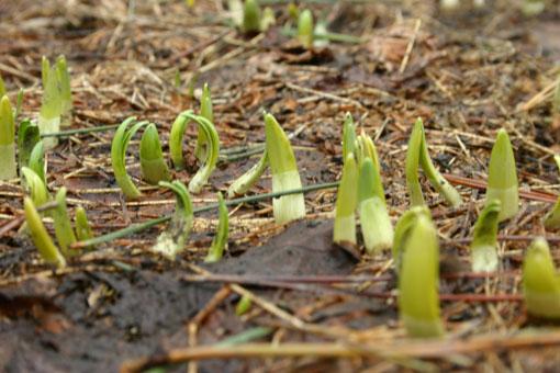 やっと春:花芽と雪害_e0054299_956710.jpg