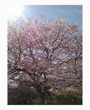 桜....満開!_d0051146_20505414.jpg
