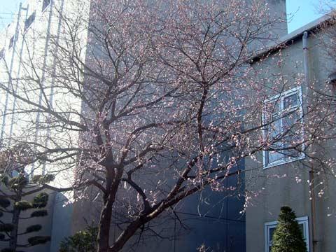 上田市立図書館の魯桃桜_d0066822_7474572.jpg