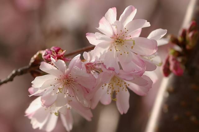 四季桜咲く_d0043136_2122922.jpg