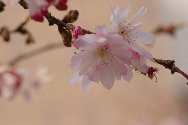 四季桜咲く_d0043136_2124767.jpg
