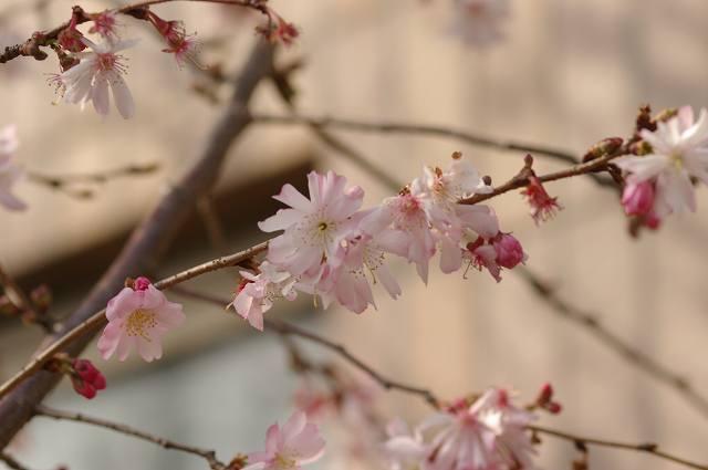 四季桜咲く_d0043136_2125737.jpg