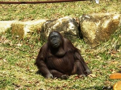 広い広い!多摩動物公園~オランウータン~_c0060651_094620.jpg