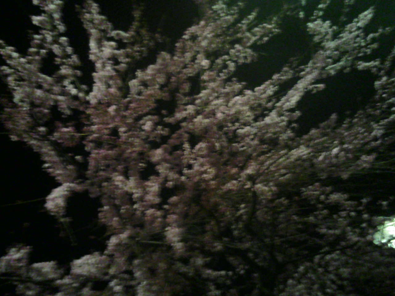 広小路葵の桜_e0013944_222835.jpg