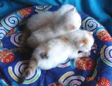 ターキッシュバン・子猫もうすぐ3週目_e0033609_2139070.jpg