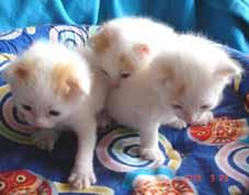 ターキッシュバン・子猫もうすぐ3週目_e0033609_21394483.jpg