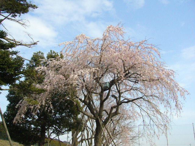 しだれ桜_d0000324_15433864.jpg