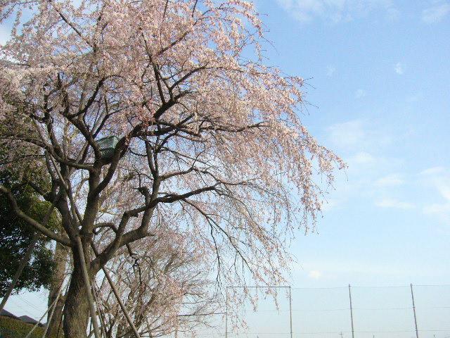 しだれ桜_d0000324_1544426.jpg