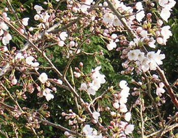 2006年3月24日桜の開花_f0060461_19414773.jpg