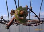 ぶどうの芽が日増しに膨らみます。_d0026905_1146561.jpg