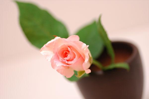 バラ ブライダルピンク ピンク