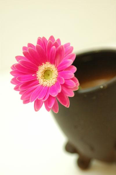 ガーベラ オカピー ピンク