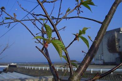 緋寒桜の葉っぱが出始めました_d0030373_2041572.jpg
