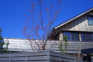 緋寒桜の葉っぱが出始めました_d0030373_20421575.jpg