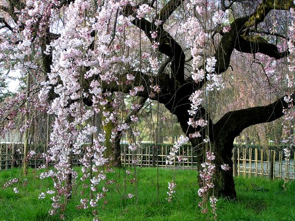 京都御所の桜_e0048413_2113050.jpg