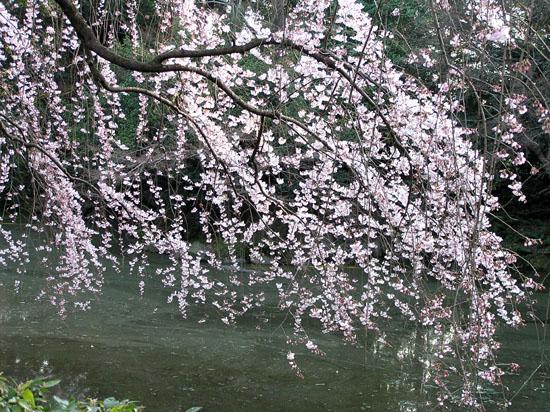 京都御所の桜_e0048413_21131598.jpg