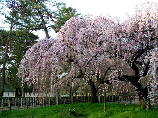 京都御所の桜_e0048413_2114521.jpg