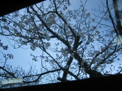 鎌倉の桜_a0034031_21475449.jpg