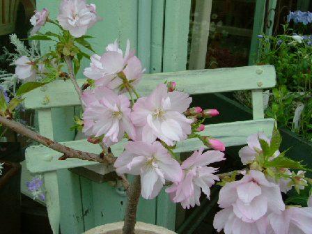 オークリーフ(桜の鉢、旭山)_f0049672_1292956.jpg