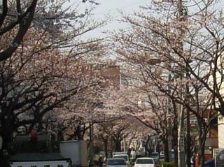 【桜】 今週末までもつだろうか_b0000480_18474799.jpg