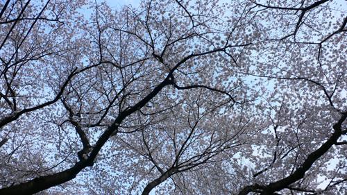 目白、桜開花情報_b0014003_17502867.jpg