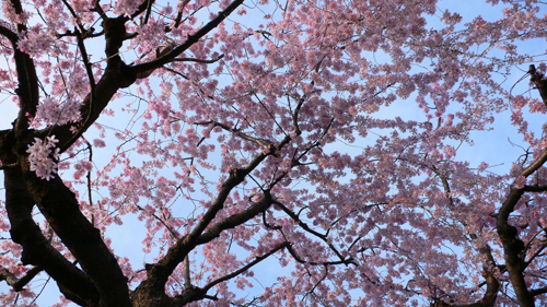 目白、桜開花情報_b0014003_1750596.jpg