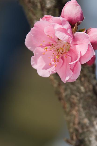 花盛り。桃の花ほか_b0010915_23241435.jpg