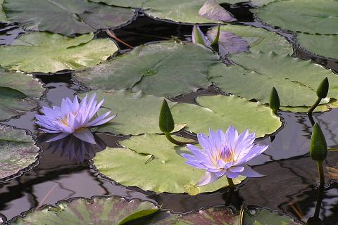 スイレンの池 (花鳥園)_a0030958_1939946.jpg