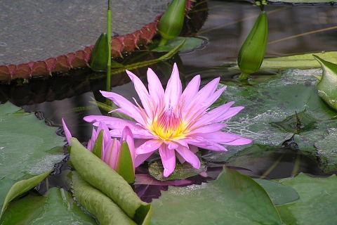 スイレンの池 (花鳥園)_a0030958_19411419.jpg