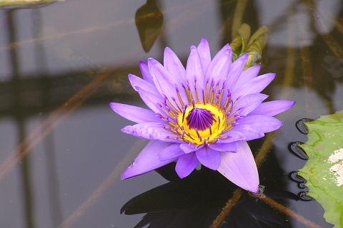 スイレンの池 (花鳥園)_a0030958_19421177.jpg