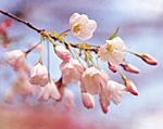お花見気分で…_f0008085_1359407.jpg