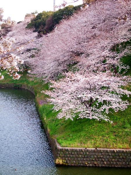 皇居の桜・牛ケ淵・千鳥ケ淵_a0003650_16532295.jpg