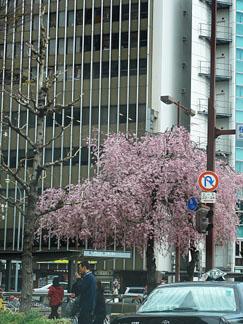 名古屋も桜が見頃_e0015690_21564586.jpg