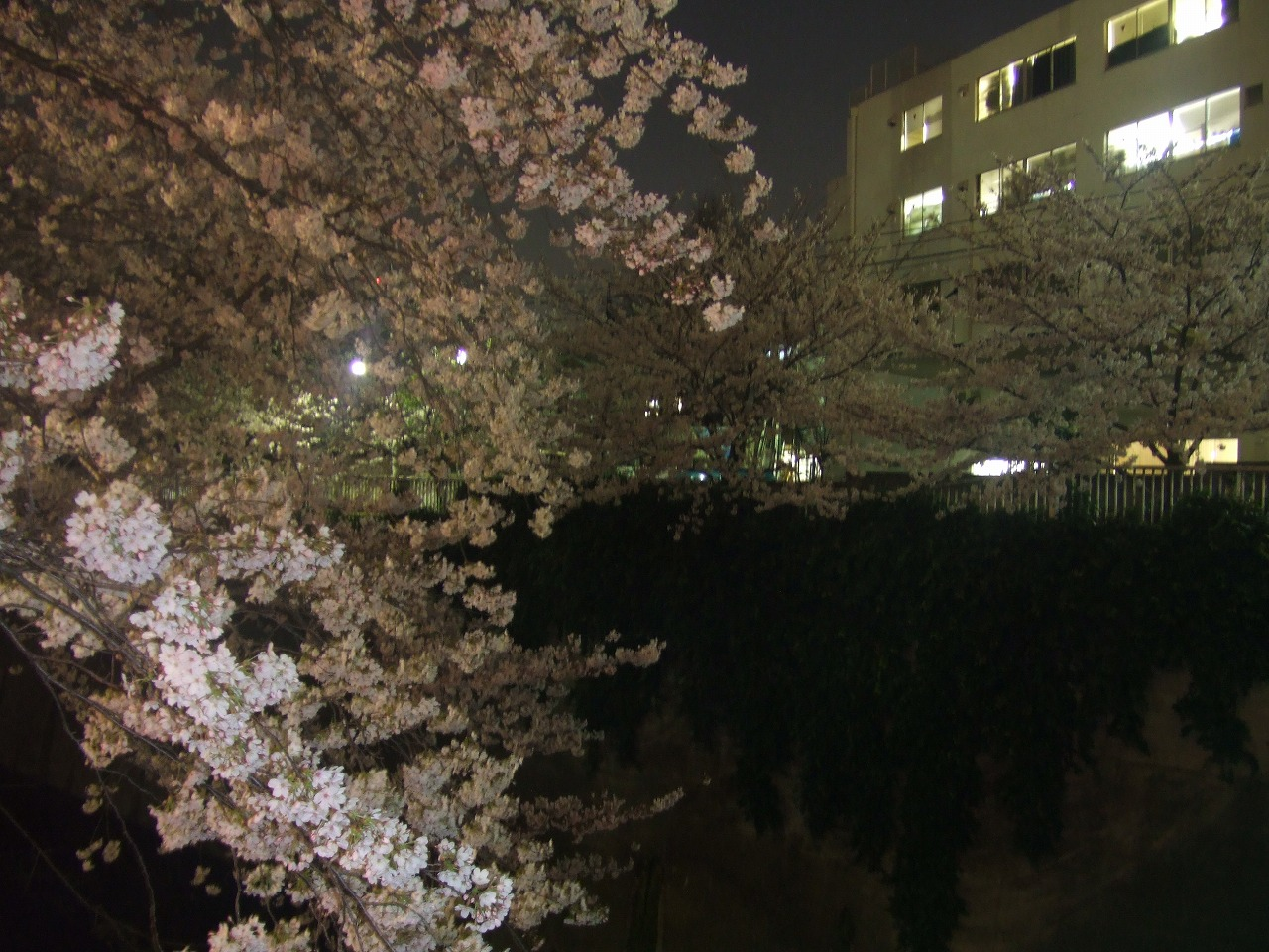 神田川 桜 _f0076001_1103790.jpg
