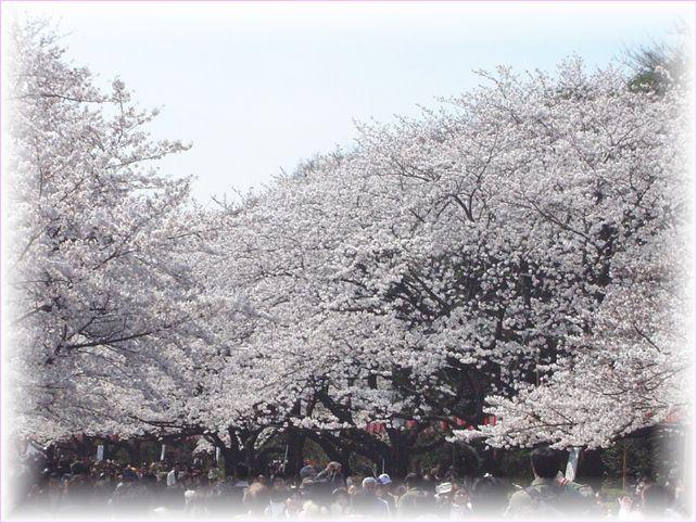 サクラ さくら 桜_a0037389_1710357.jpg