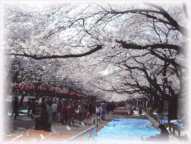 サクラ さくら 桜_a0037389_17115111.jpg