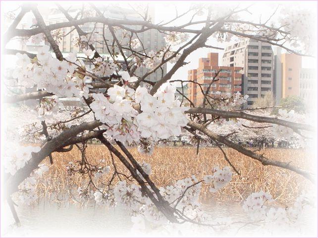 サクラ さくら 桜_a0037389_1715181.jpg