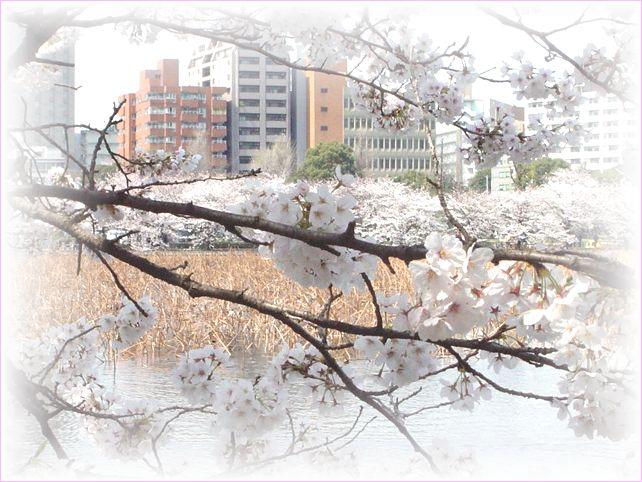 サクラ さくら 桜_a0037389_17152047.jpg