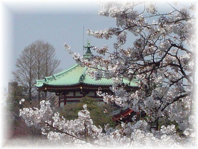 サクラ さくら 桜_a0037389_17154874.jpg
