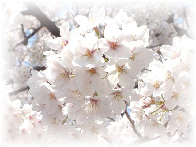 サクラ さくら 桜_a0037389_17181231.jpg