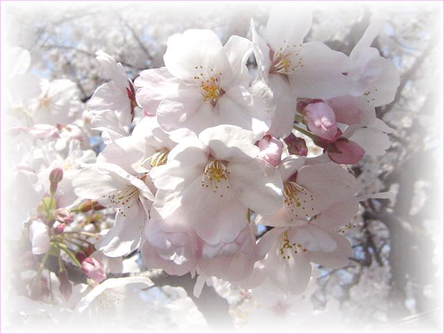 サクラ さくら 桜_a0037389_1720069.jpg