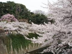 桜_e0065433_1113770.jpg
