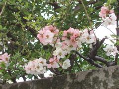 桜_e0065433_1163297.jpg
