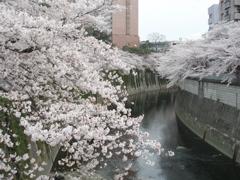 桜_e0065433_162292.jpg