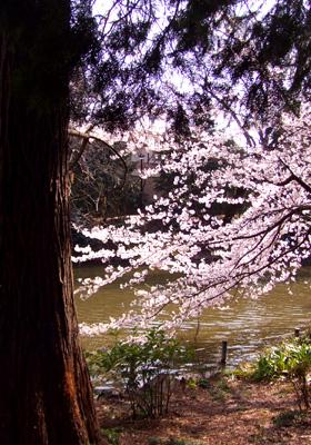 吉祥寺・井の頭公園の桜_a0003650_21583973.jpg