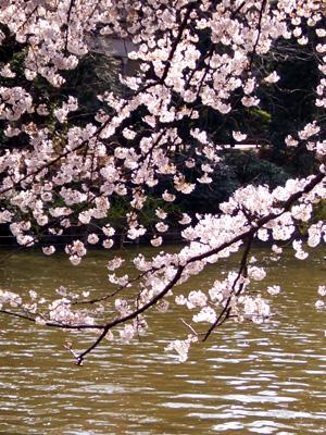 吉祥寺・井の頭公園の桜_a0003650_2233816.jpg