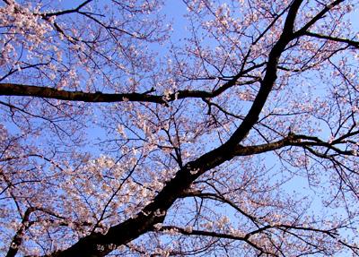 吉祥寺・井の頭公園の桜_a0003650_2241878.jpg