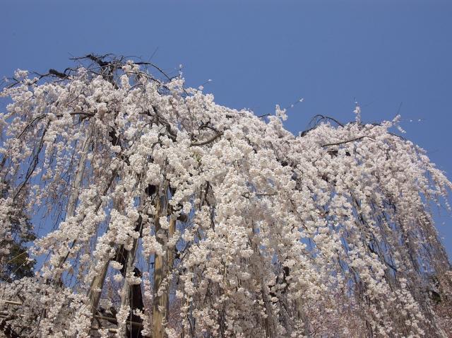 桜瀑布_f0018464_21544033.jpg