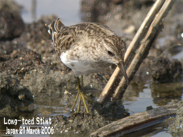 ヒバリシギ 1 Long-toed Stint 1_c0071489_10101382.jpg