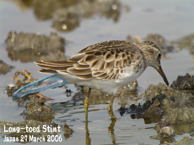 ヒバリシギ 1 Long-toed Stint 1_c0071489_10101989.jpg